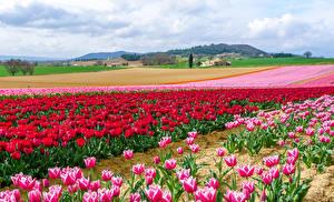 Фотографии Поля Тюльпаны Много Цветы