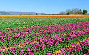 Обои Поля Тюльпаны Много Цветы