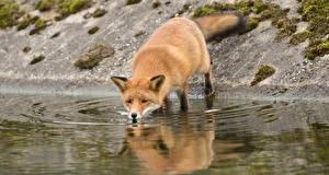 Фотографии Лисица Вода Пьет воду