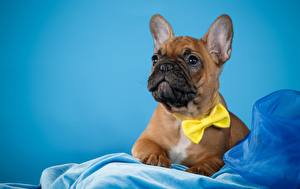 Картинка Французский бульдог Собаки Бант Цветной фон Животные