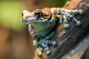 Фото Лягушки Крупным планом Глаза Взгляд Животные