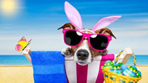 Фотографии Праздники Пасха Собаки Бабочки Яйца Джек-рассел-терьер Очки Корзина Смешные Ушки кролика Животные