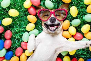 Обои Праздники Пасха Собаки Яйца Очки Джек-рассел-терьер Забавные Улыбка
