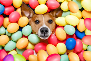 Фотография Праздники Пасха Собаки Яйца Джек-рассел-терьер Смотрит Разноцветные Животные