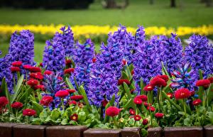Обои Гиацинты Маргаритка Вблизи Цветы