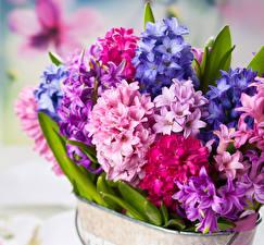 Фото Гиацинты Крупным планом Цветы