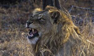 Фотография Львы Клыки Оскал Животные