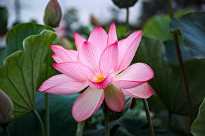Обои Лотос Крупным планом Розовый Цветы