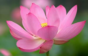 Обои Лотос Макро Вблизи Розовый цветок