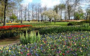 Фото Нидерланды Парки Весенние Тюльпаны Гиацинты Нарциссы Газон Keukenhof