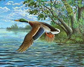 Обои Рисованные Утки Вода Птицы Полет James Hautman Животные