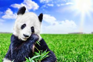 Картинки Панды Медведи Взгляд Трава Животные