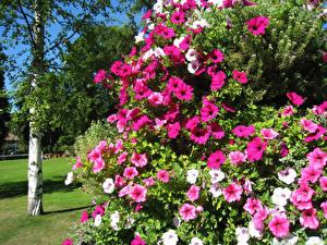 Картинки Петуния Много цветок