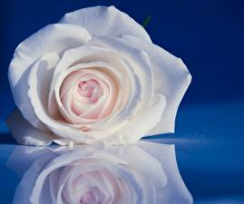 Фото Розы Крупным планом Белый Отражение Цветы