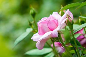 Картинки Розы Розовый Бутон