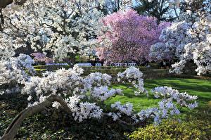 Фото Времена года Весенние США Цветущие деревья Сады Brooklyn Botanic Garden