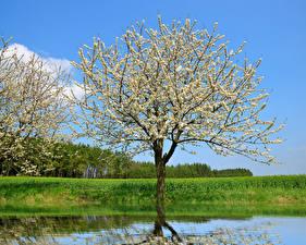 Картинка Весна Цветущие деревья Реки Природа