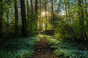 Фото Весна Леса Галантус Деревья Тропинка
