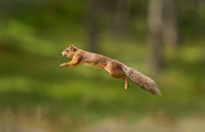 Фото Белки Прыжок Полет Животные