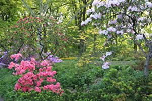 Картинки Штаты Сады Весна Цветущие деревья Рододендрон Кусты Brooklyn Botanic Garden