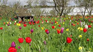 Обои Великобритания Сады Весенние Тюльпаны Helmsley Walled Garden Природа