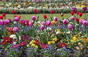 Фотографии Великобритания Сады Тюльпаны Botanic Gardens Swansea Цветы