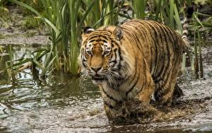 Фото Большие кошки Тигры Вода