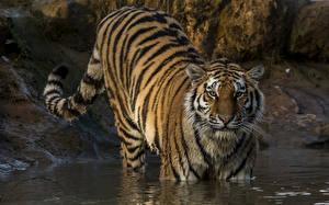 Картинки Большие кошки Тигры Вода Взгляд Животные