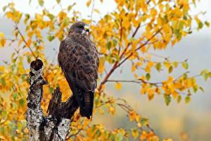 Фотография Птицы Осенние Ястреб Swainson's Hawk Животные