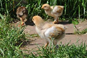Картинки Птицы Цыплята Трава