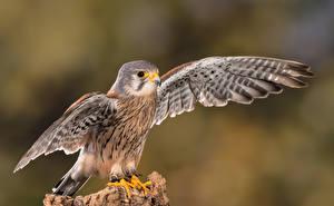 Фотография Птица Сокол Крылья Kestrel животное