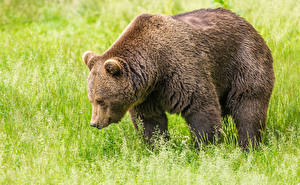 Фотография Медведь Гризли Траве животное