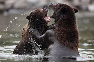 Фотография Медведи Гризли Вода 2 Сражение Мокрые Животные