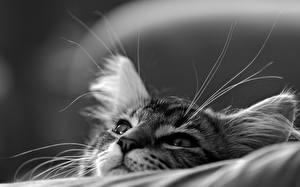 Картинка Кошки Крупным планом Котенка Черно белое Усы Вибриссы Морды Животные