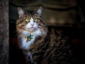 Обои Кот Морды Смотрит животное