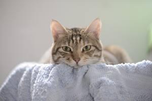 Картинка Коты Полотенце Взгляд животное