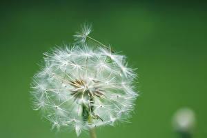 Фотография Вблизи Одуванчики Макро Цветной фон Цветы
