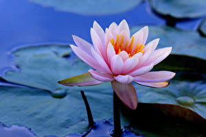 Фото Крупным планом Кувшинки Цветы
