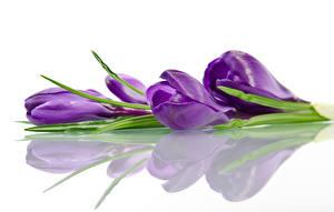 Фотография Крокусы Крупным планом Белый фон Отражение Фиолетовый Цветы