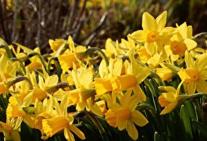 Картинки Нарциссы Крупным планом Желтый Цветы