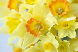 Картинки Нарциссы Макро Крупным планом Желтый Цветы
