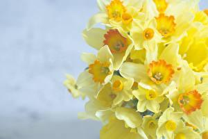 Фотография Нарциссы Желтые цветок