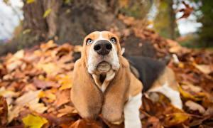 Картинки Собаки Осенние Нос Бассет хаунд Животные