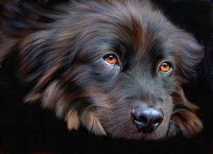 Фото Собаки Крупным планом Морда Взгляд Черный фон Животные