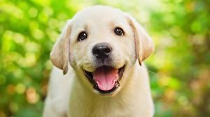 Картинка Собаки Милые Красивые Язык (анатомия) Ретривер Взгляд Голова Белый Животные