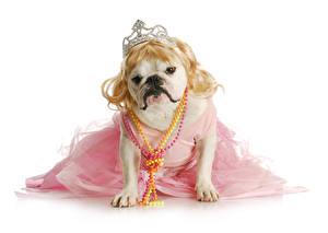 Фотографии Собаки Украшения Корона Белый фон Бульдога Смешной Платья Животные