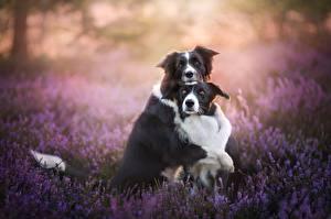 Обои Собаки Лаванда Вдвоем Бордер-колли Милые Объятие Животные