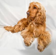 Картинка Собаки Спаниель Рыжий Животные