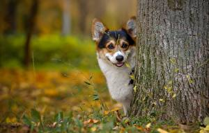 Картинки Собака Вельш-корги Ствол дерева Взгляд Животные
