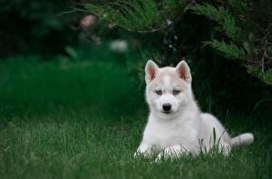 Картинки Собаки Белый Щенок Хаски Трава Животные